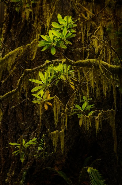 Moss hangs from rhododendron branches in the California redwoods.<br /> Photo © Cindy Clark