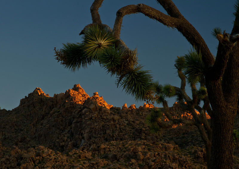 The Joshua Trees' fantastical shapes lend themselves to creative composition.<br /> Photo © Cindy Clark