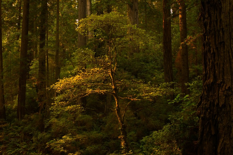 A shaft of light hits a rhododendron in the Redwood Forest, California.<br /> Photo © Cindy Clark
