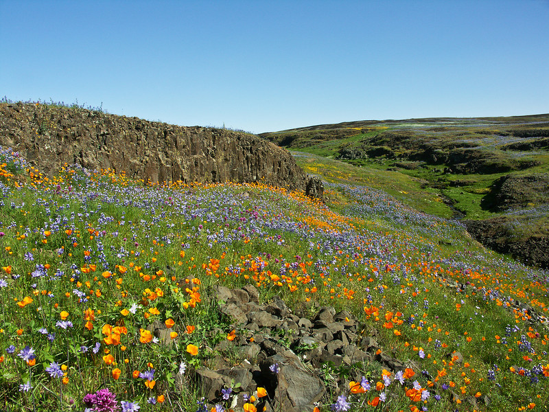 Table Mountain Flowers, Oroville, CA.