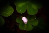A shy oxalis  bloom peeks out in the California redwoods forest.<br /> Photo © Cindy Clark