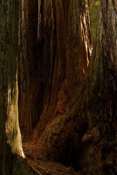 A rare beam of sunlight touches ancient wood in Tall Trees Grove.<br /> Photo © Cindy Clark