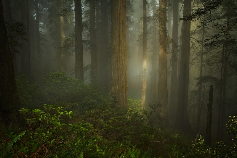 A solar spotlight adds atmosphere to the Prairie Creek Redwoods in Northern California.<br /> Photo © Carl Clark