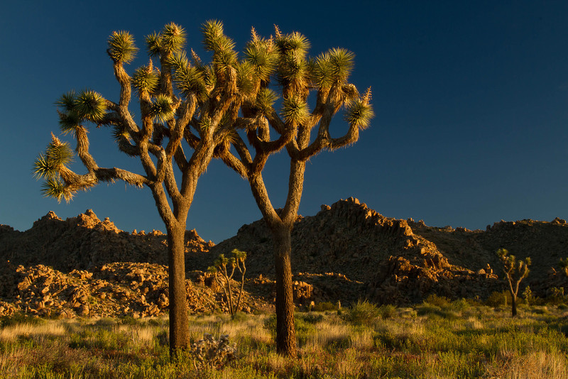 Morning is a beautiful time of day at Joshua Tree.<br /> Photo © Cindy Clark