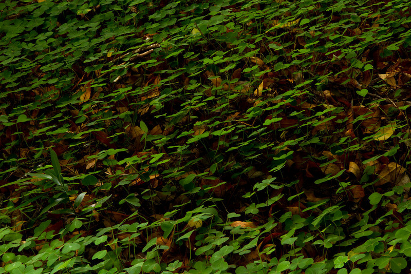 Looking almost like an Escher print, clover is a very common ground cover in redwood forests.<br /> Photo © Cindy Clark