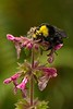 A bumblebee hard at work on the Damnation Creek trail on the California coast.<br /> Photo © Carl Clark