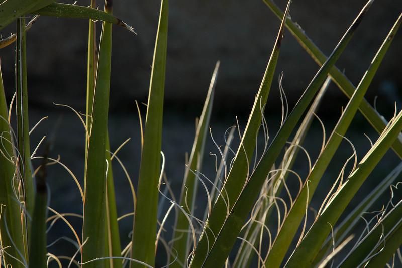 You gotta love the name - Spanish Dagger!<br /> Photo © Cindy Clark