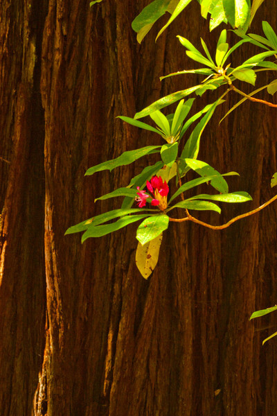 Spring rhododendron is set off against the bark of a coastal redwood in the Tall Trees Grove.<br /> Photo © Carl Clark
