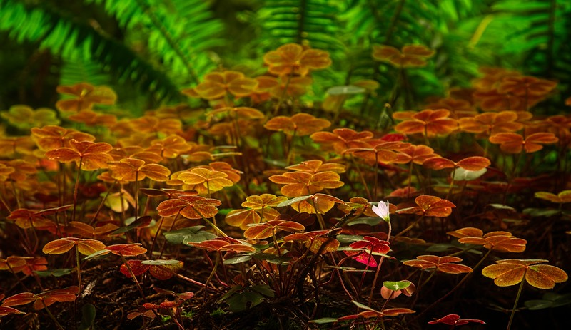 I loved the way these wood sorrel were backlit! This was in the California Redwoods, on a  hike called Damnation Creek.<br /> Photo © Cindy Clark