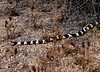 A California Kingsnake  glides through the weeds at Joshua Tree.<br /> Photo © Carl Clark