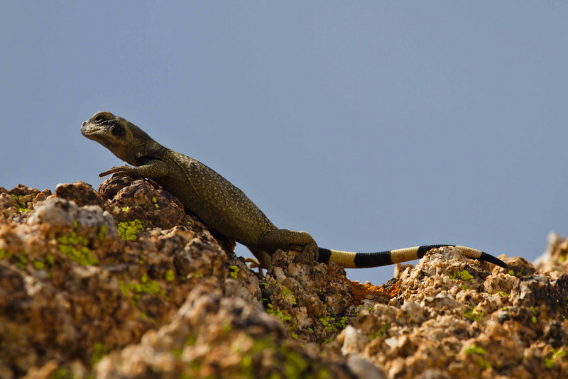 Zebra-tailed lizard adds to the colors of the rock at Joshua Tree.<br /> Photo © Carl Clark