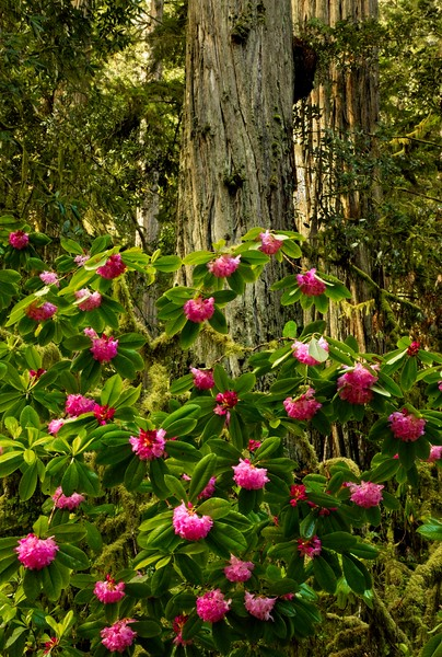 Jedediah Smith Redwoods, northern California.<br /> Photo © Carl Clark