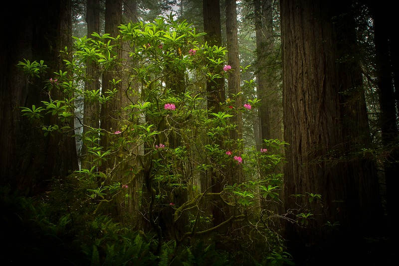 A wild rhododendron reaches for sunlight in the redwood forest in Northern California.<br /> Photo © Cindy Clark