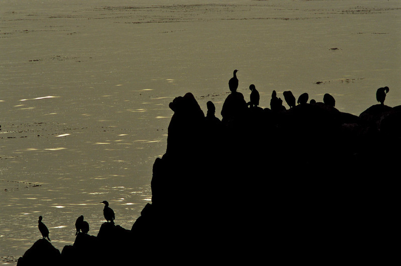 Cormorants silhouetted against the waters of Monterey Bay.<br /> Photo © Carl Clark