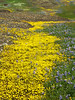 Table Mountain Yellow Flower Path,Oroville, CA.