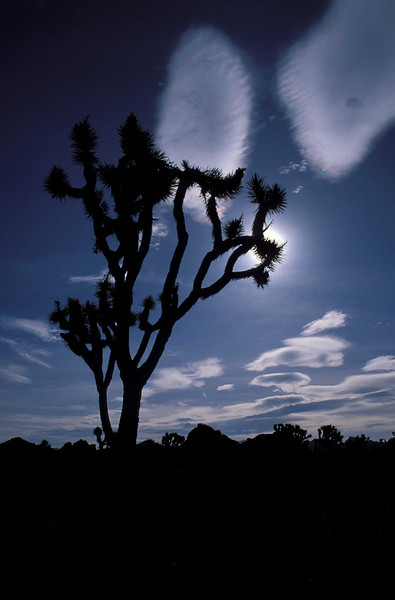 Wonderful Joshua Tree.<br /> Photo © Carl Clark