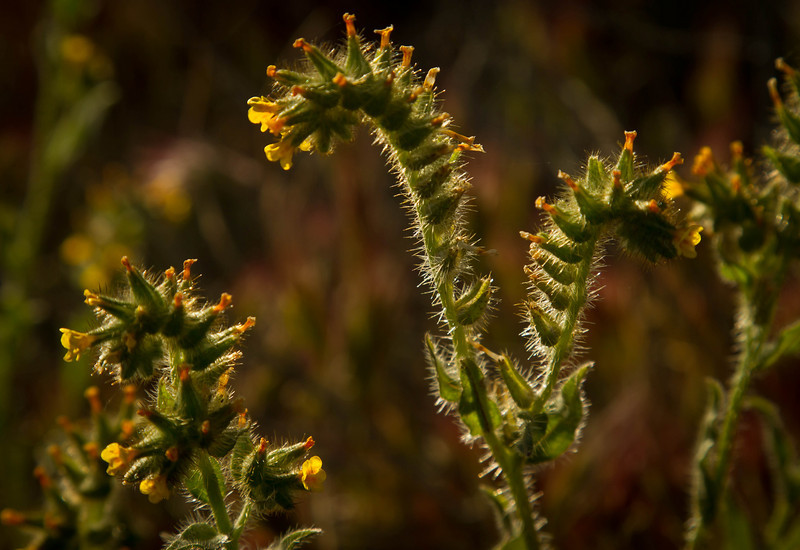 Fiddlenecks glow at sunrise in Joshua Tree.<br /> Photo © Cindy Clark