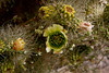 Spring brings blooms to the Jumping Cholla.<br /> Photo © Carl Clark