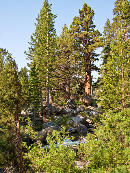 Cedar Tree on Sonora Pass
