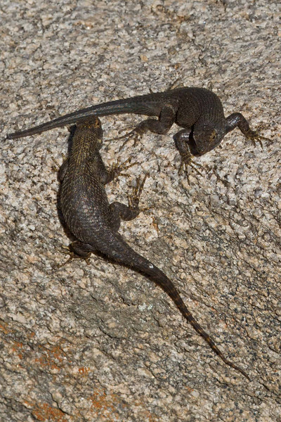 Yin Yang.  Great Basin Fence Lizards at Joshua Tree.<br /> Photo © Carl Clark