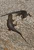 Yin Yang.  Great Basin Fence Lizards at Joshua Tree.<br /> Photo © Carl Clark