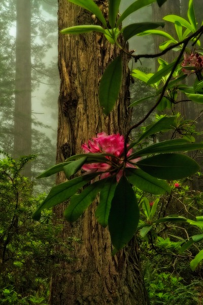 A rhododendron set against one of the Prairie Creek Redwoods in Northern California.<br /> Photo © Carl Clark