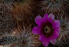 We were fortunate to be at Joshua Tree National Park when many of the cacti were in bloom.  This is a Hedgehog Cactus.<br /> Photo © Cindy Clark