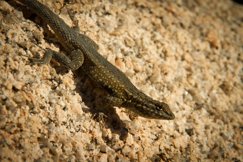 A Nevada Side-Blotched lizards finds plenty of toe holds in the rocks at Joshua Tree.<br /> Photo © Cindy Clark