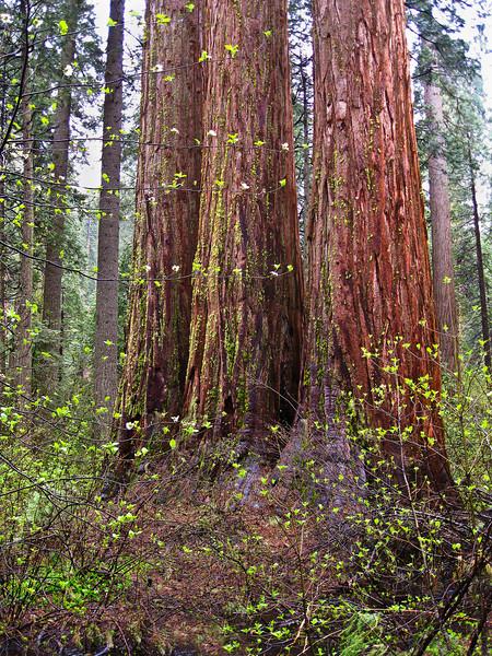 3 Sisters, Calavares Big Trees St Pk, CA