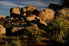 Morning shadows dramatize the scene at Joshua Tree.<br /> Photo © Carl Clark