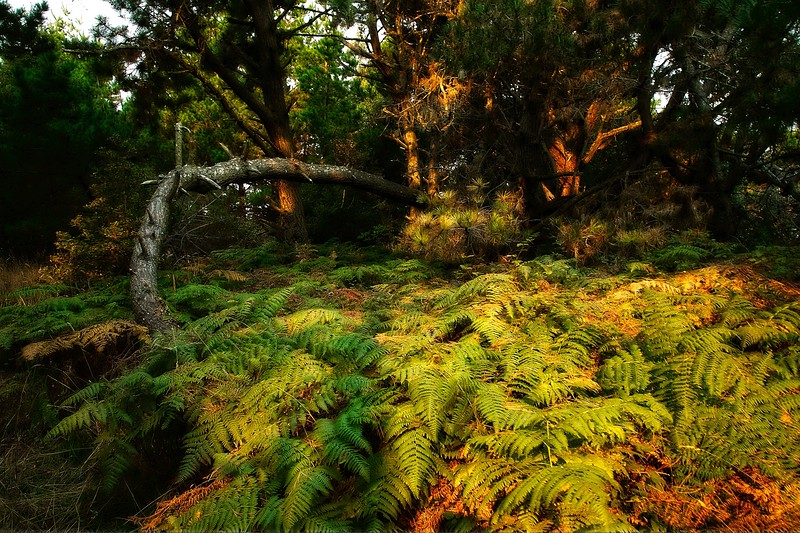 A carpet of ferns at Jug Handle State Reserve on the northern California coast.<br /> Photo © Carl Clark