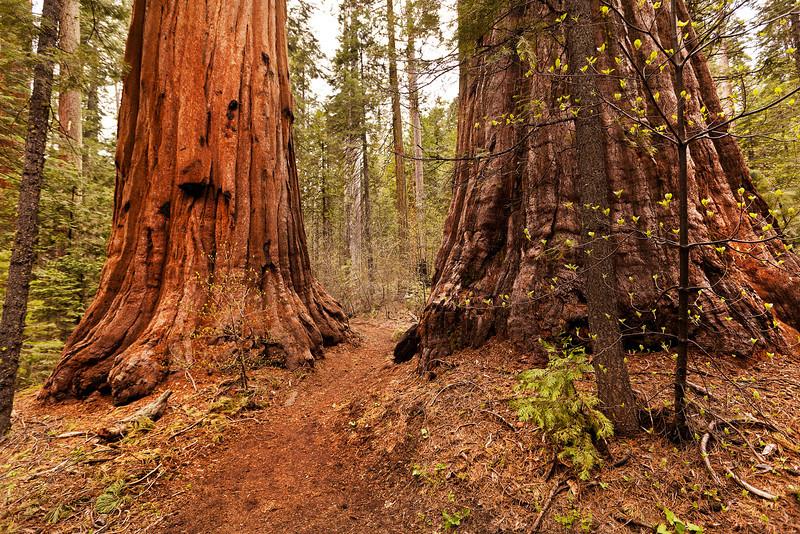 Giants, Calavares Big Trees St Pk, CA