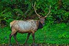 We encountered this fine tule elk specimen at the edge of the forest in the Prairie Creek Redwoods.<br /> Photo © Carl Clark