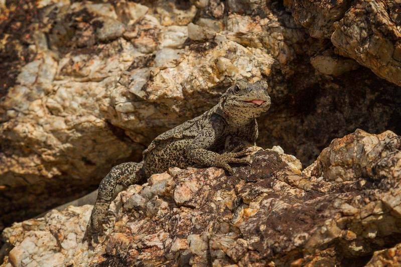A zebra tailed lizard has had about enough of nosy tourists at Joshua Tree!<br /> Photo © Cindy Clark
