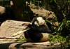 A 20 minute wait in line was amply rewarded with this panda cub playing with a stick of bamboo at the San Diego Zoo.<br /> Photo © Cindy Clark