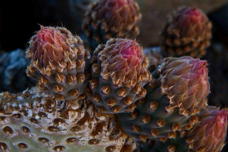 Beavertail cactus preparing to bloom in Joshua Tree.<br /> Photo © Carl Clark