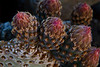 Beavertail cactus preparing to bloom in Joshua Tree.<br /> Photo © Carl Clark