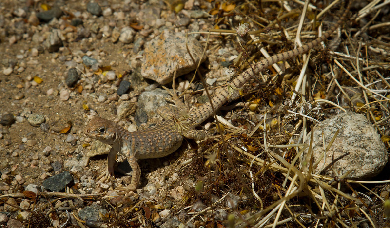 I wanted to take this one home!  A desert iguana poses for me at Joshua Tree National Park.<br /> Photo © Cindy Clark