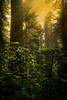 Morning sun in the redwoods.<br /> Photo © Cindy Clark