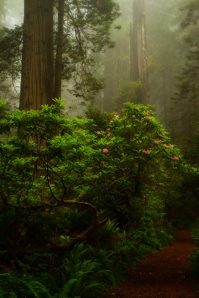 Beautiful morning light in the redwood forest in Northern California.<br /> Photo © Cindy Clark
