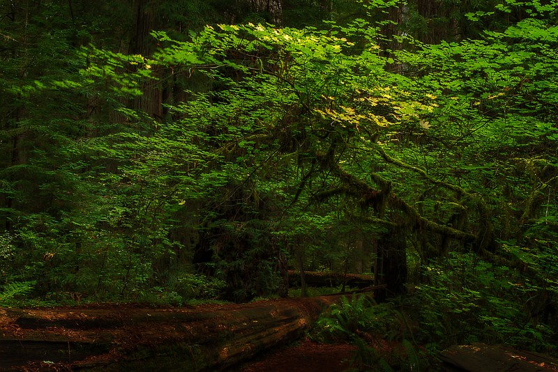 The California redwoods are truly an enchanted forest.<br /> Photo © Cindy Clark