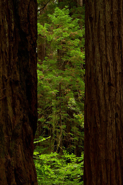 A very young redwood responds to a brief glimpse of light through the canopy in the Stout Redwood Grove.  <br /> Photo © Cindy Clark
