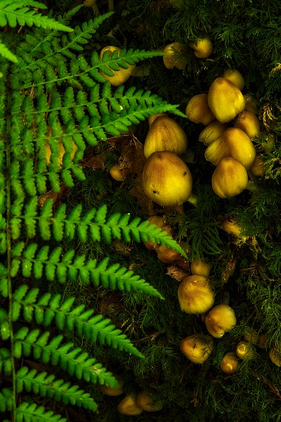 Mushrooms sprout in the redwood forest on the Trillium Falls hike.<br /> Photo © Cindy Clark