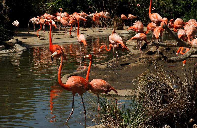 Flamingos strut their stuff at the San Diego Zoo.<br /> Photo © Cindy Clark