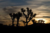 A new day at Joshua Tree.<br /> Photo © Carl Clark