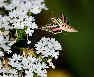 _MG_3142 hummer moth