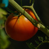 Jude's Ripe Tomato with post-processing