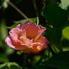 Pink Rose shot at 200 ISO and no post-processing.