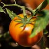 Jude's Tomato