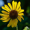 Jude's backlit sunflower.
